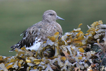 A white, tan and gray Sandpiper sits on a small pile of seaweed.
