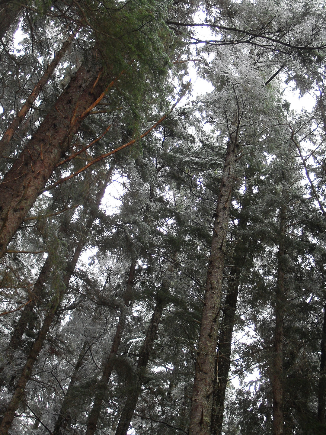 Looking up into the snowy canopy of old, tall western hemlock and Sitka spruce.