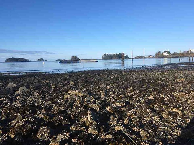Clam flats in the intertidal zone.