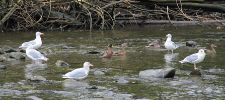 Several gulls and other sea birds wading in the shallow, rocky Indian River.