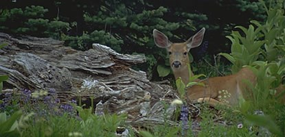 A Sitka black tailed deer stands amid lupine, spruce and other plants, alongside a large log.