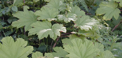 Many large leaves of spiny Devil's Club.
