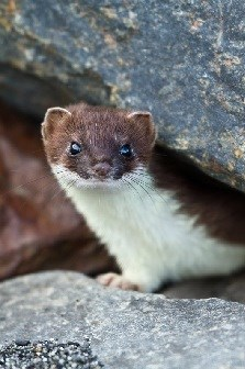 A brown and white Barinoff ermine peers out from between two large rocks.