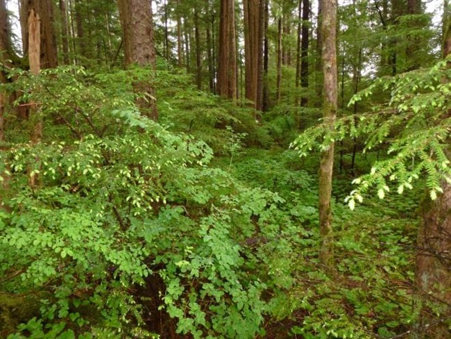 A forest dominated by western hemlock, Sitka spruce, and blueberries.