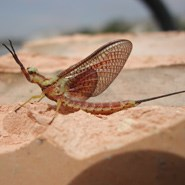 A close-up of a single Mayfly perched on sand.