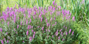 Purple Loostrife is an invasive species