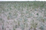 Pitcher's Thistle on dunes