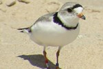 Piping Plover adult