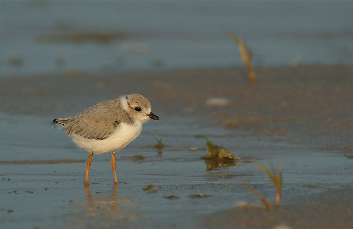 Young piping plover on beach