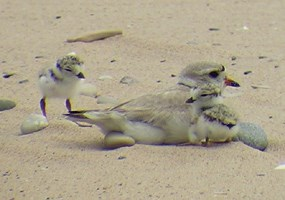 Piping Plover with Chicks
