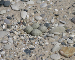 Piping Plover Eggs in Sand