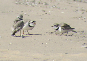 Piping Plover defending its territory