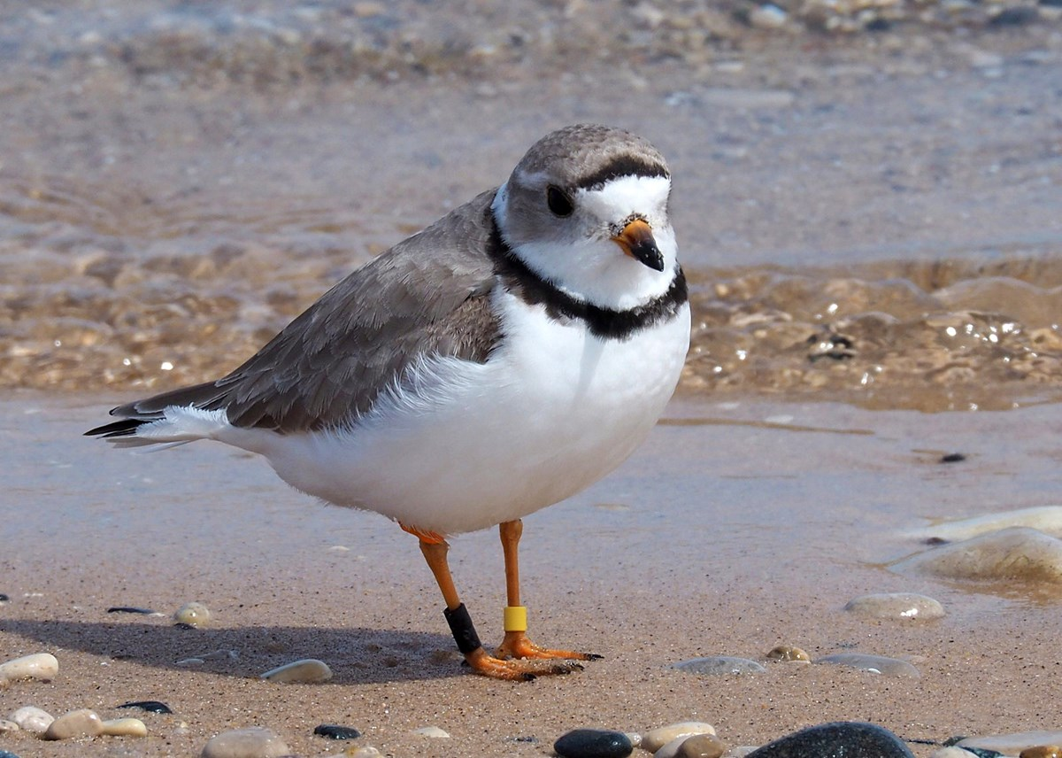 Adult plover on cobbled beach
