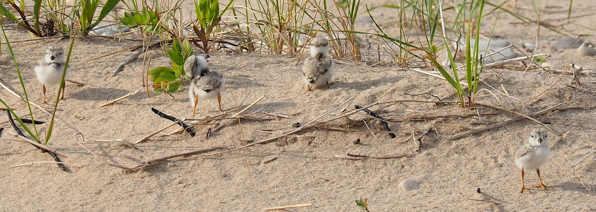 Plover chicks preen and stretch in the sand