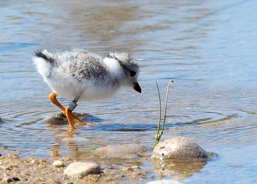 Plover chick at water's edge