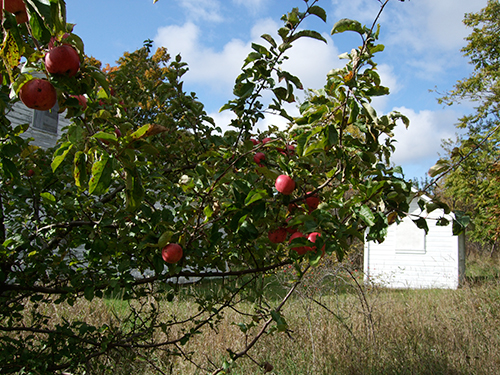 Apple tree in Port Oneida