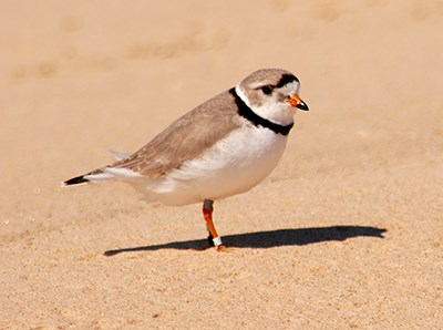A piping plover on the beach