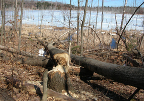 Beaver activity at North Unity School