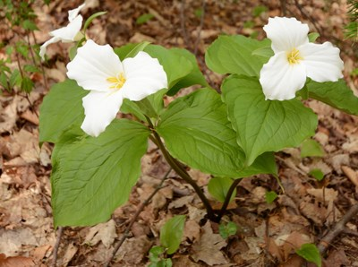 Three white trillium flowers stand out against the brown orest floor.