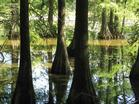 Bald cypress knees rise from the swamp at Trap Pond State Park