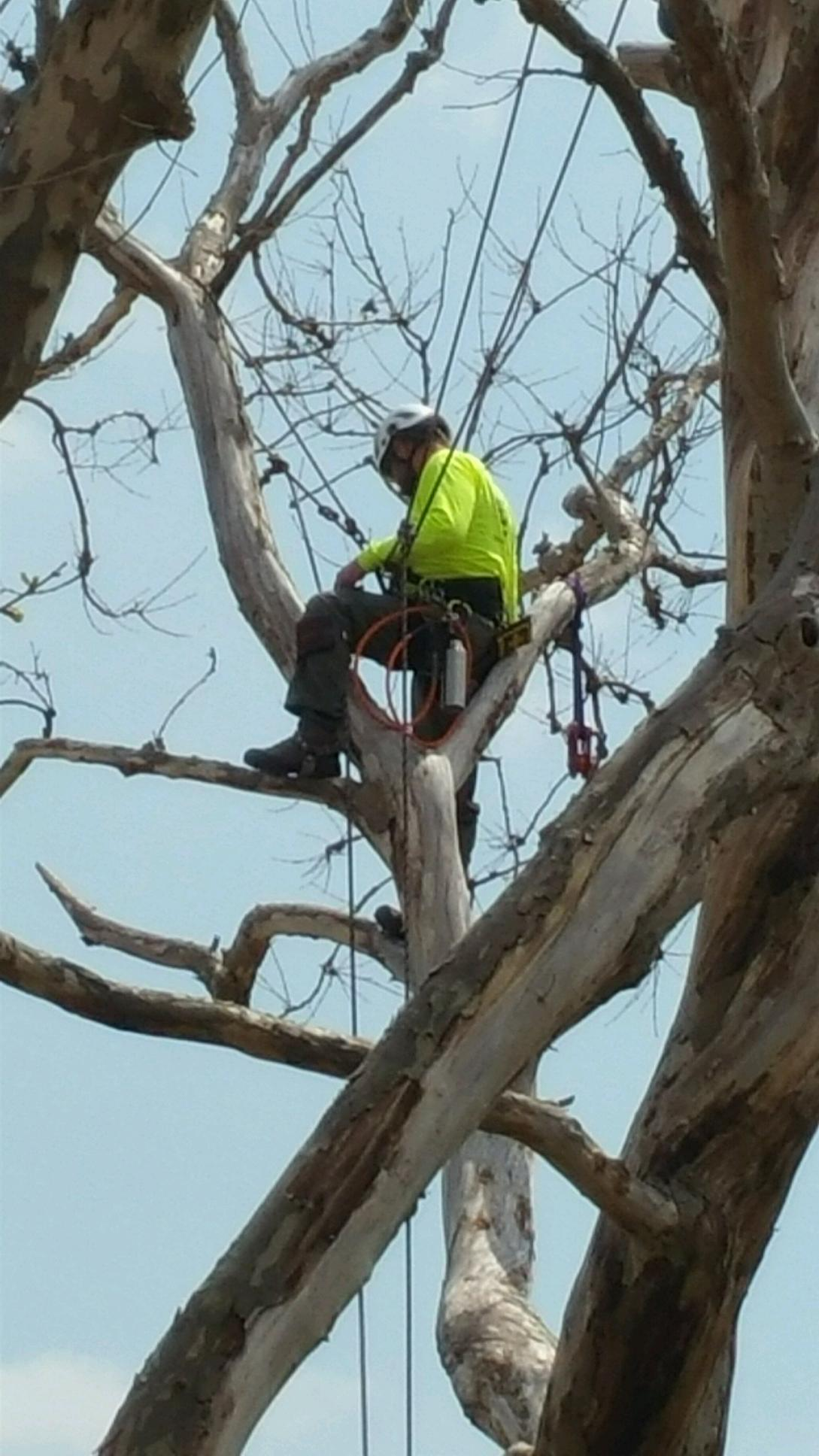 Arborist climbing a tree on Liberty Island