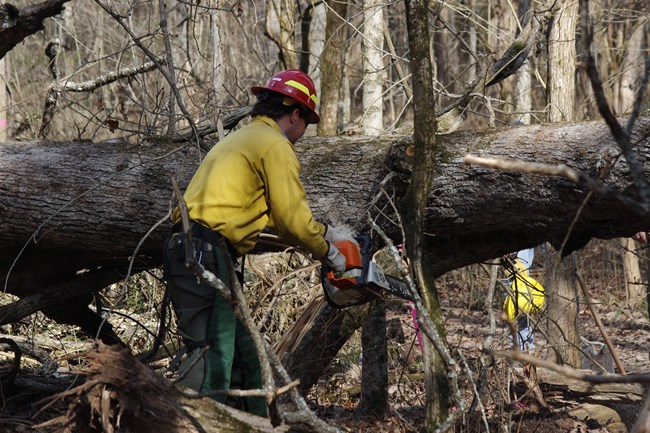 A man wearing a red hard hat and yellow shirt uses a chainsaw to cut a fallen tree.