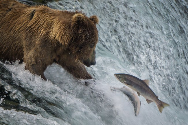 Bear catching fish in Katmai National Park and Preserve