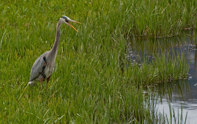 Crane in wetlands, Yellowstone National Park