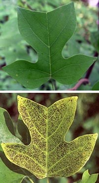 Photo of healthy (top) and ozone-injured (bottom) tulip tree (yellow poplar) foliage.