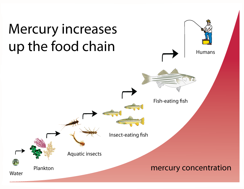 Biomagnification in the food chain: mercury concentrations rise from water, to plankton, to insects, to fish, to humans.