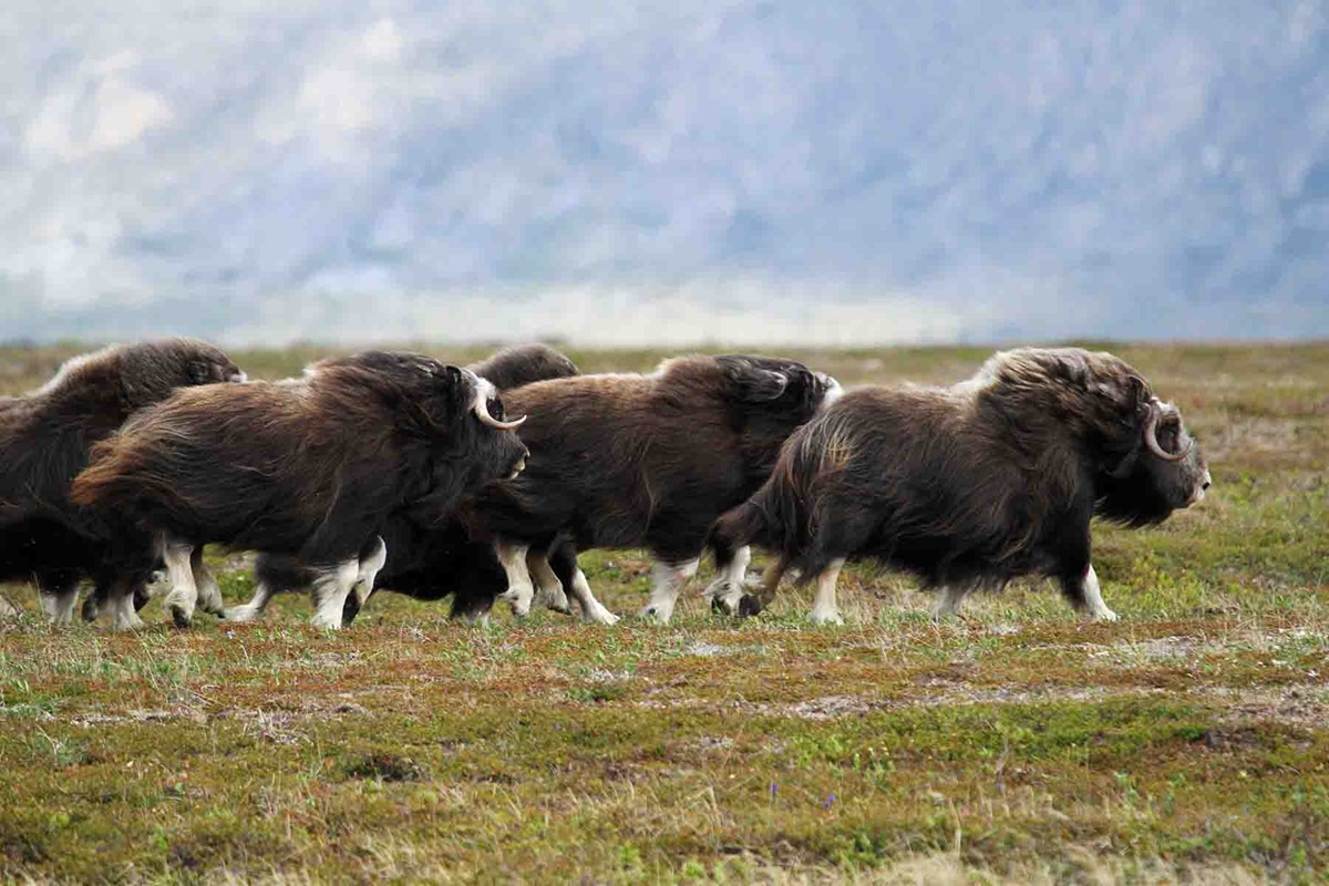 Muskoxen run across the tundra.