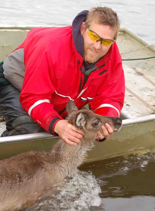 Researcher, Kyle Joly, holds a young caribou