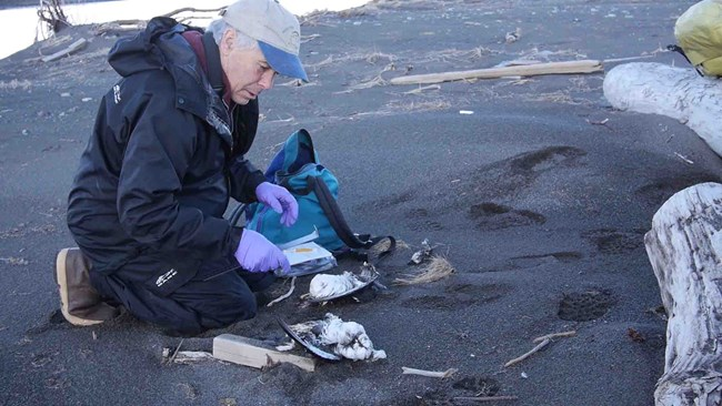 A researcher examines dead murre carcass
