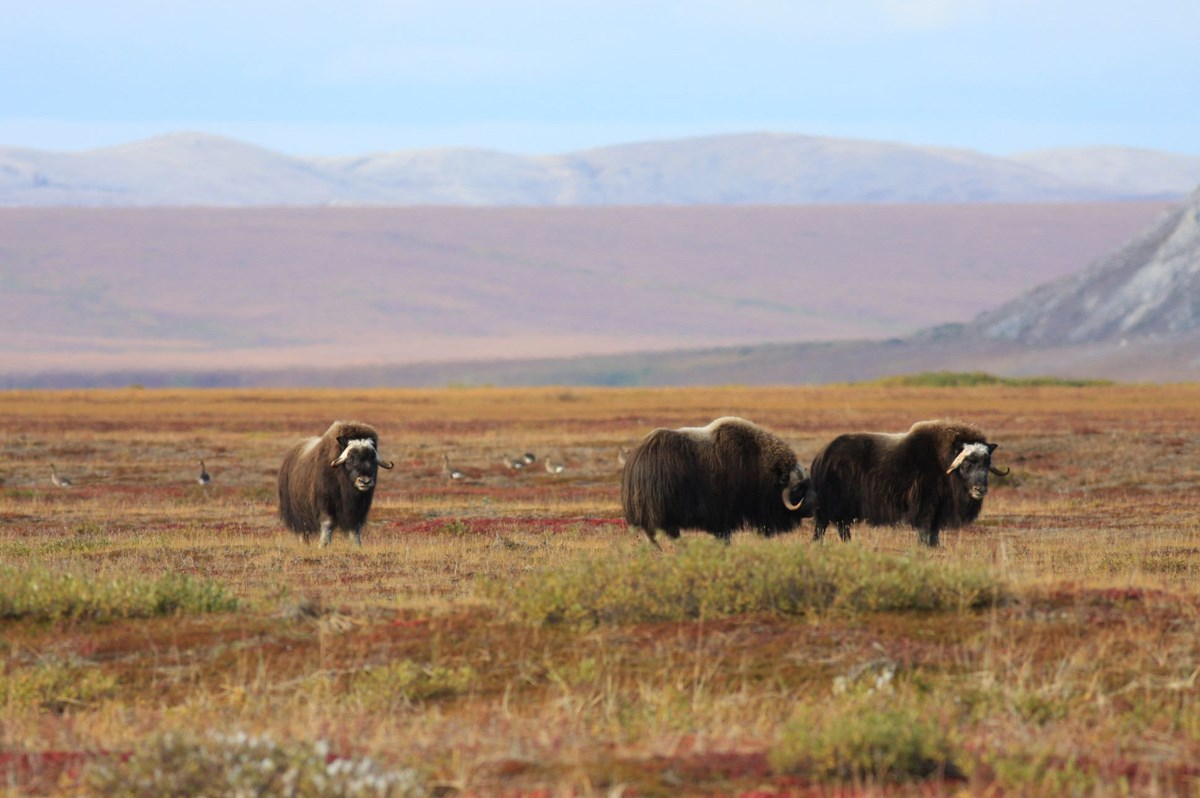 a group of three muskoxen in the tundra
