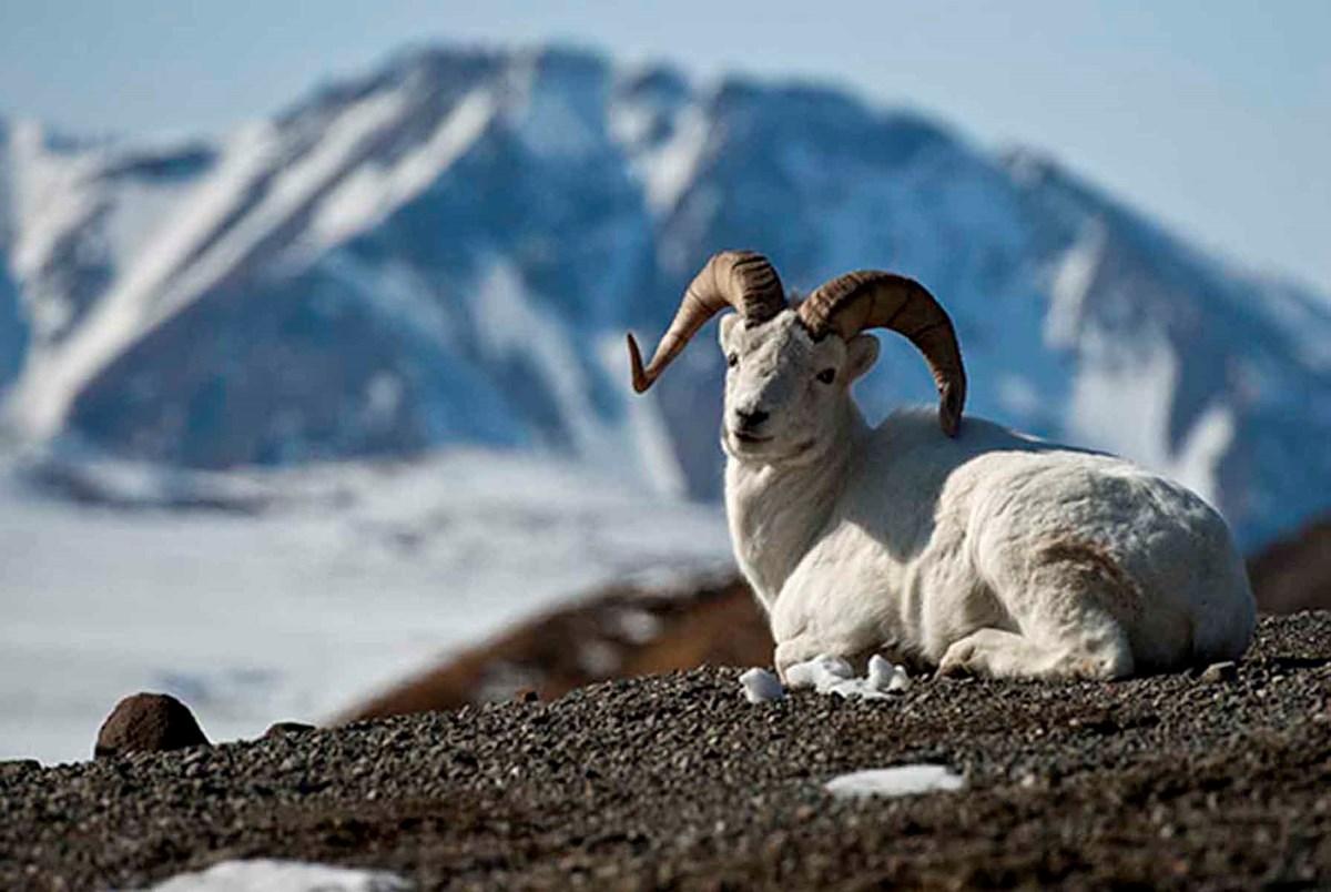 Aljaska - Page 2 Wildlife_DallsSheep_tile