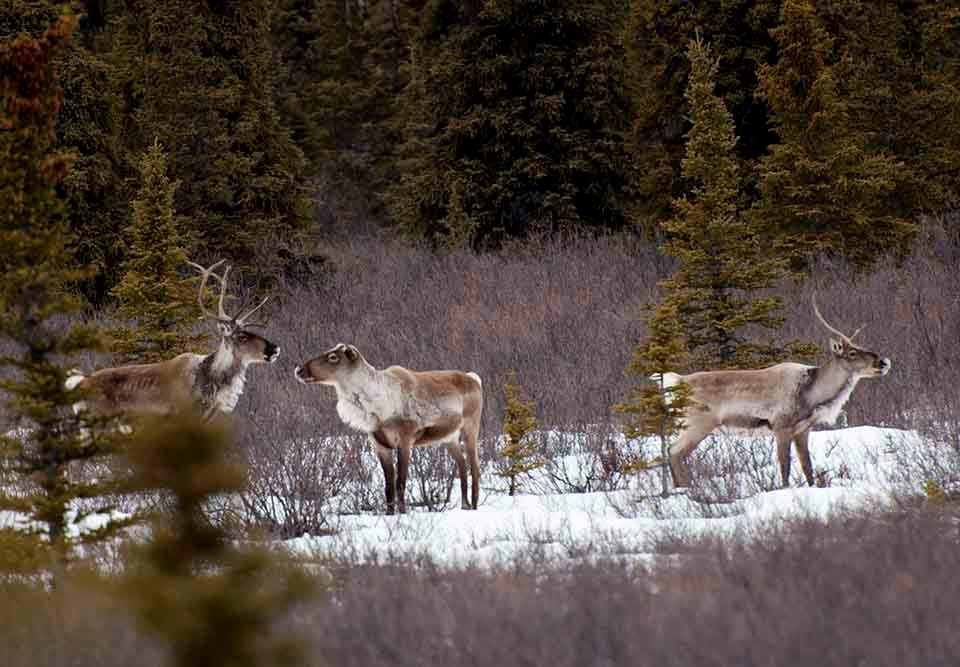 A group of caribou in the boreal forest.