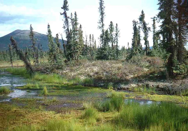 Permafrost thaw creates slumps that make trees fall over.