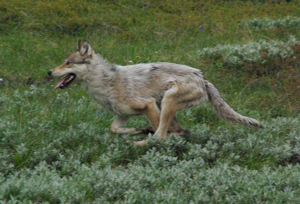 A wolf running through a meadow