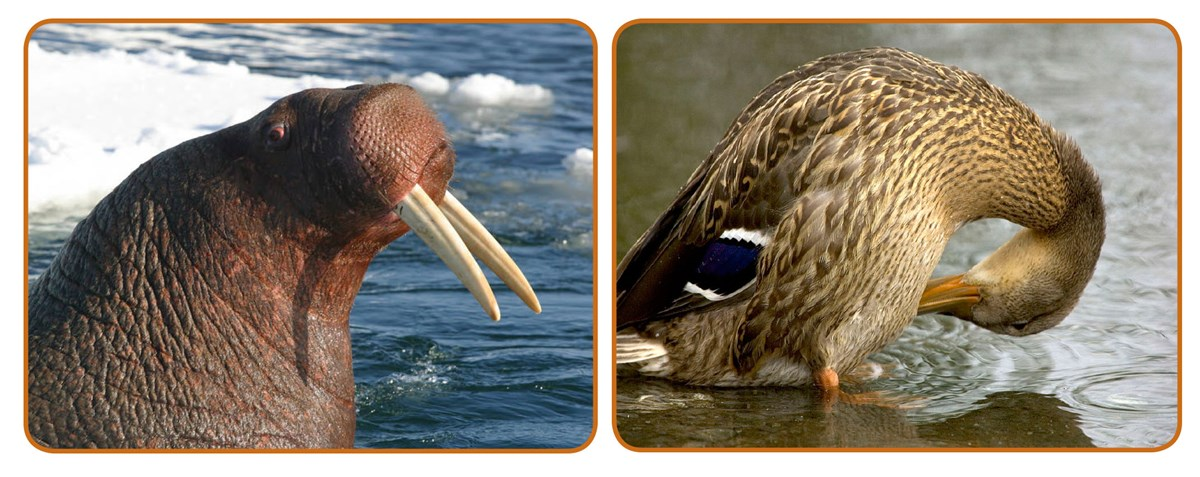 A photo montage of a walrus and mallard duck