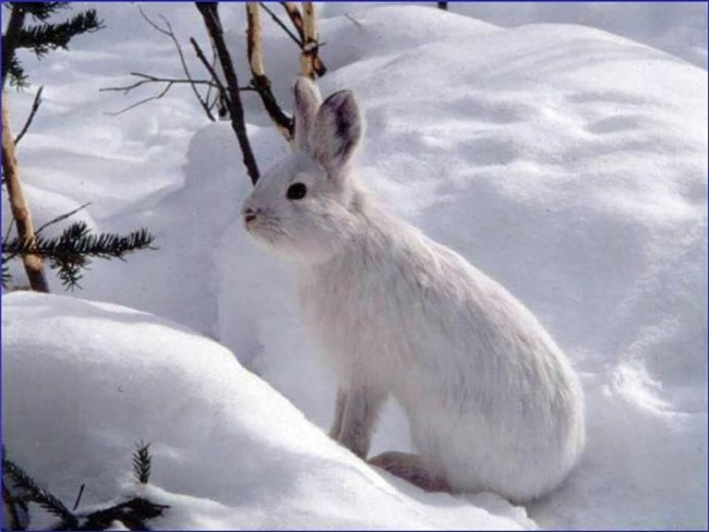 A snowshoe hare blends into the snow.