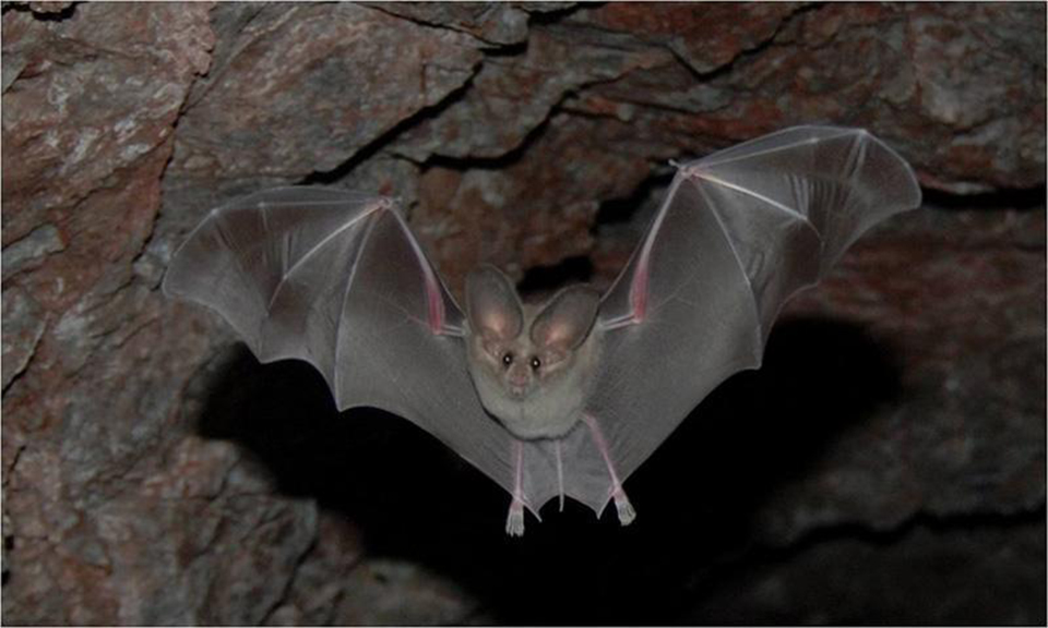 hispanic single men in bat cave The extreme nature of bats takes us to the latin american habitat of the vampire bat, the only mammal which subsists solely on the blood of other animals we see these bats using all four limbs to crawl stealthily along cave walls, eerily reminiscent of the scenes of dracula scaling his own castle walls in francis ford copola's 1992 cinematic .