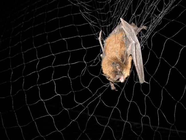 bat in mist net