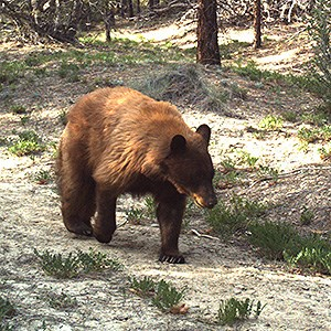 Bear walking down trail