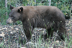 Black bear walking along rocky ground at the edge of a forest