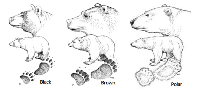 Types Of Bears Bears U S National Park Service