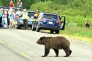 Bear crossing road while people take pictures