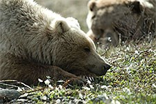 Two grizzly bears in Denali National Park