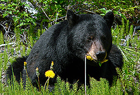 Black bear lying in grass eating a dandelion