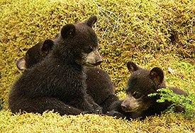 Three black bear cubs resting on mossy ground