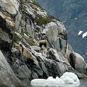 Brown bear on cliffs above glacier